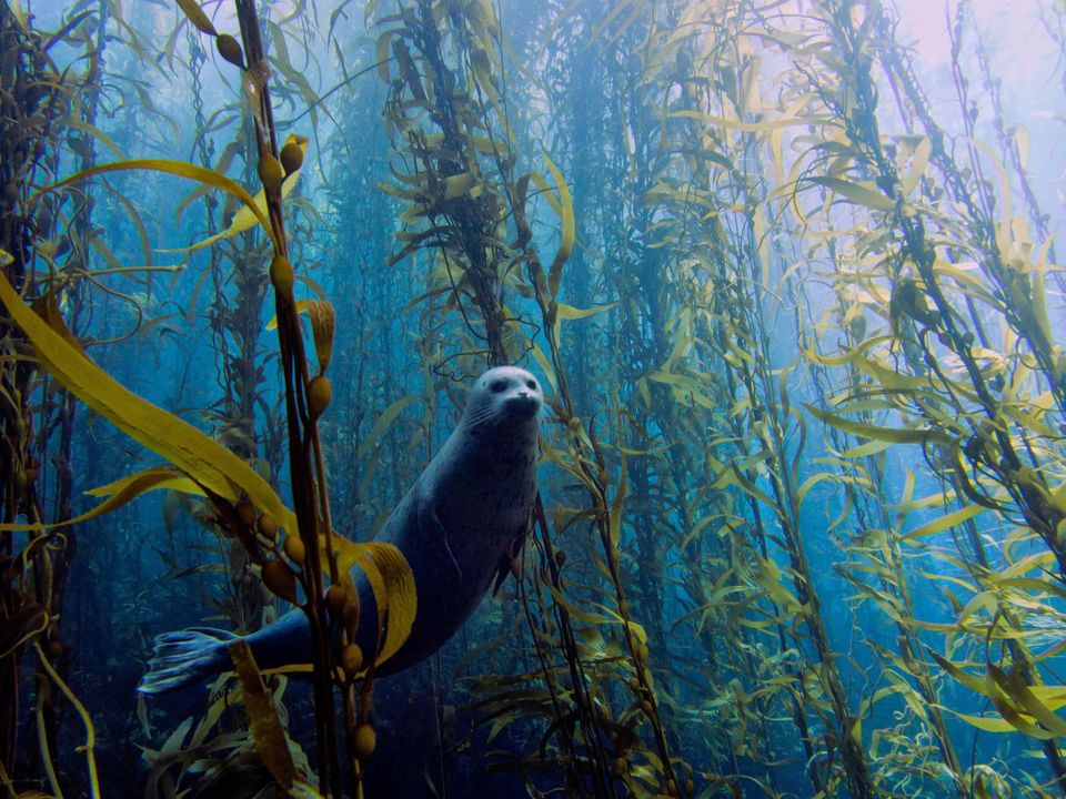 Harbor seal (Phoca vitulina) in a kelp forest at Cortes bank, near San Diego, CA.