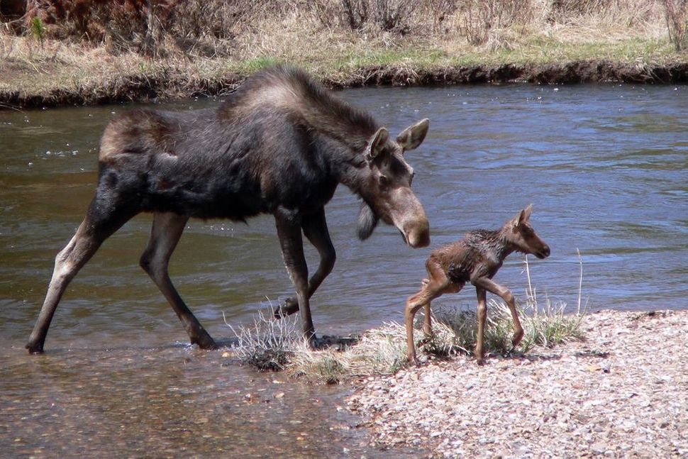 "<a href=""https://instagram.com/p/3RVTpygu3X/"" target=""_blank"">Baby and mama moose at Rocky Mountain National Park</a>"