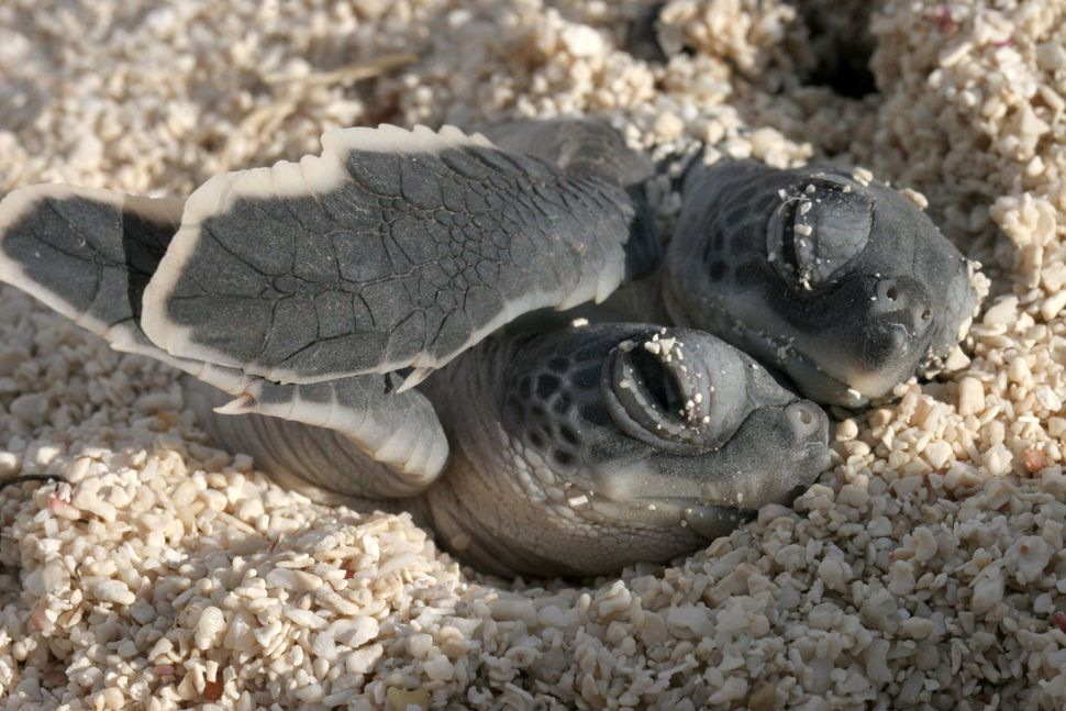 "<a href=""https://instagram.com/p/3B3sh5Au-M/"" target=""_blank"">Spooning baby turtles at Dry Tortugas National Park.</a>"