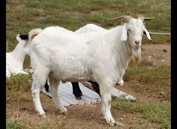During his brief tenure as President, Harrison had a pet billy goat with him at the White House.
