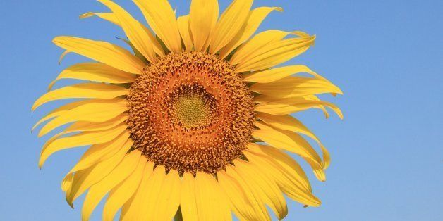 sunflower is a plant that can...