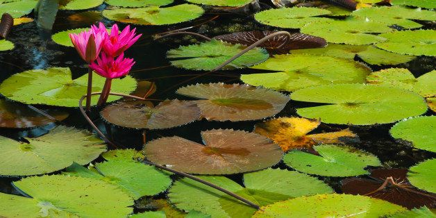 red lotus in the canal