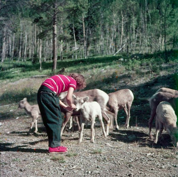 "Young person feeding mountain sheep on Banff-Lake Louise Road.  <a href=""http://collectionscanada.gc.ca/pam_archives/index.ph"