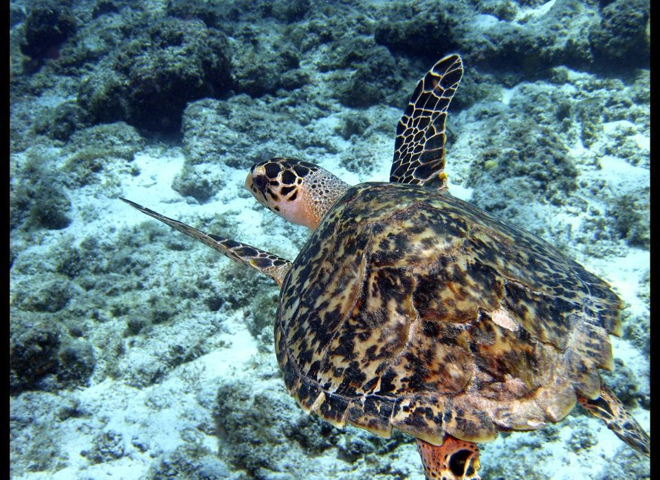 This April 21, 2010 photo shows a hawksbill sea turtle as it cruises over a reef just off the shore of Curacao. From mesmeriz