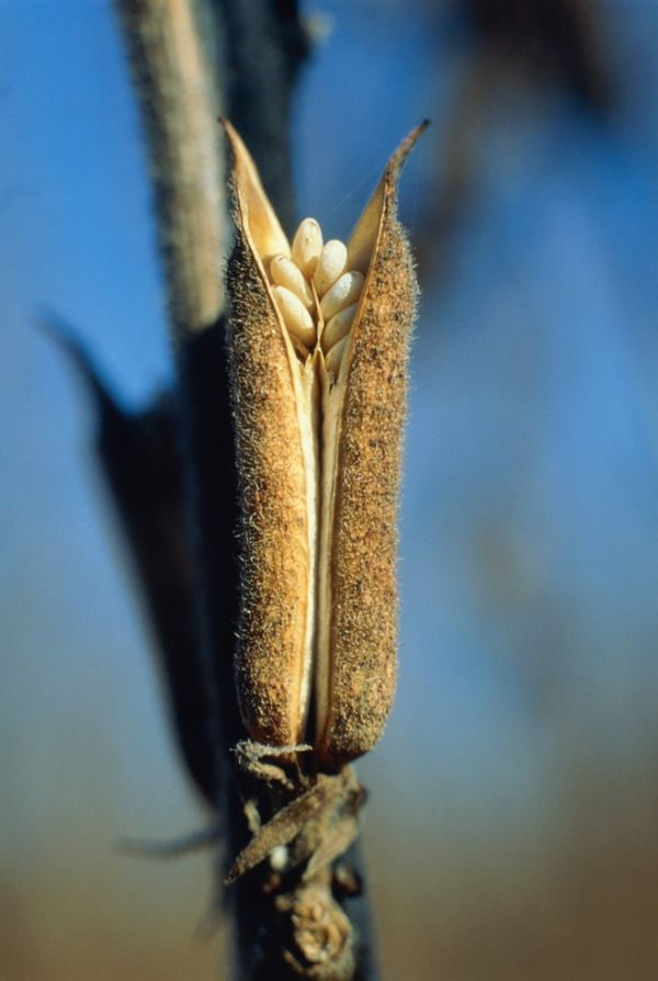 As the fruits dry, the pods begin to open, revealing the seeds inside. To extract sesame seeds, the dried out plants are shak