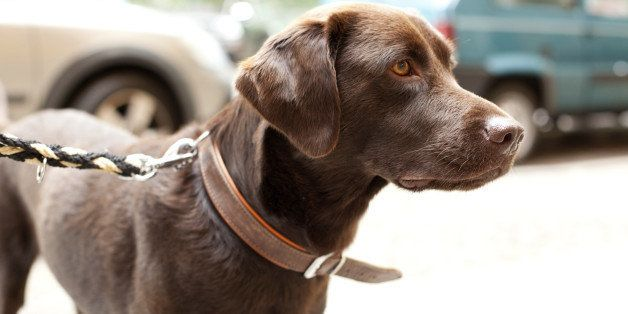 Portrait of a purebred  Labrador with owner