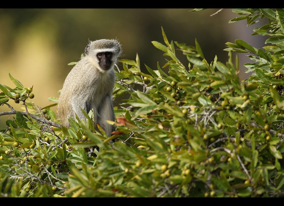 A vervet monkey rests on a tree in the 21,000-acre Edeni Game Reserve, South Africa.  
