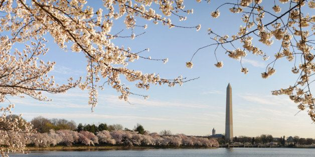 Panormaic of the George Washington Monument that is  framed by blossoms of Japanese cherry trees that line the tidal basin in Washington DC.