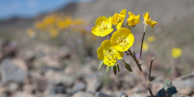 Death Valley National Park, California.  The brilliant yellow flowers of the Mojave Sun Cup, also known as the Field Primrose, are found in open sandy area below 3,000 feet in Creosote Scrub brush.
