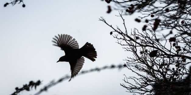 A bird starts its flight from a tree in Limburg, western Germany, on December 9, 2014.                 AFP PHOTO / DPA / FRANK RUMPENHORST +++ GERMANY OUT        (Photo credit should read FRANK RUMPENHORST/AFP/Getty Images)