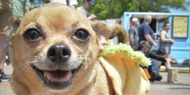 A costumed Chihuahua dog poses during the 4th annual 'Running of the Chihuahuas' in Washington, DC on May 3, 2015. The annual Chihuahua event marks the Mexican holiday Cinco de Mayo celebrated on May 5th.  AFP PHOTO/MLADEN ANTONOV        (Photo credit should read MLADEN ANTONOV/AFP/Getty Images)