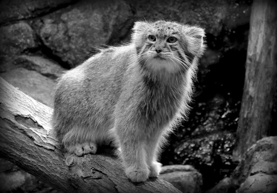 Cute female Pallas Cat