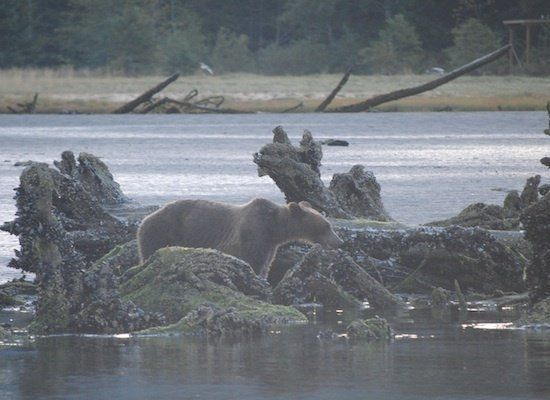 The grizzly bears migrate to the region every September for salmon fishing.