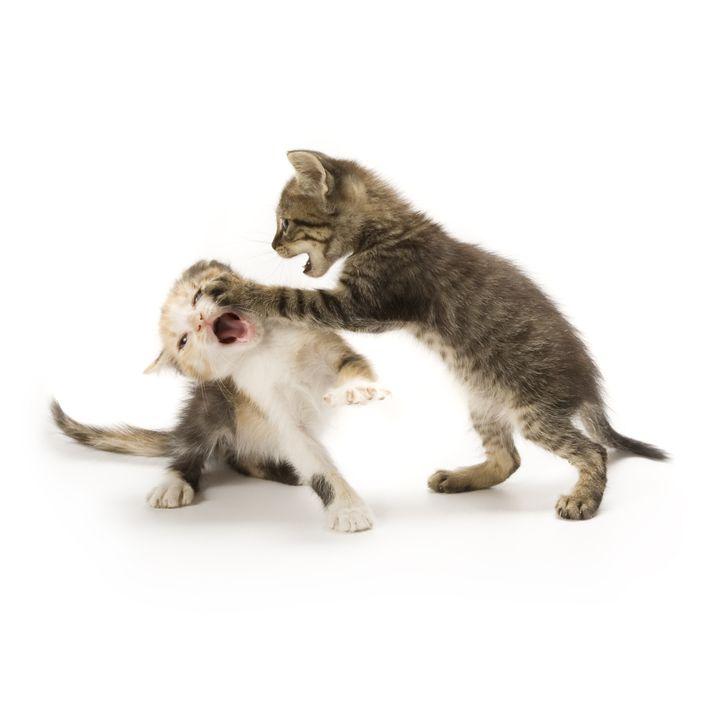 kittens playing on white...