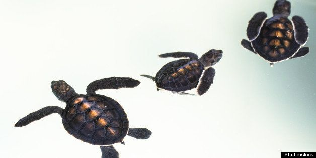 little baby sea turtles in...
