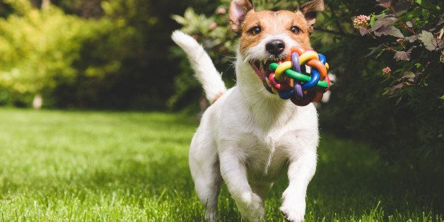 pet, dog, playing, ball, colorful, lawn, jack russell terrier