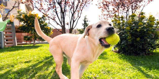 Horizontal image of a 4 months old Labrador retriever puppy female running in backyard with a tennis ball in her month.