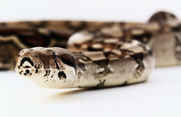 Dreams About Snakes Dream Meanings Explained Huffpost Life