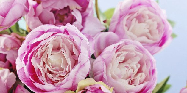 Pink peony flowers on blue background