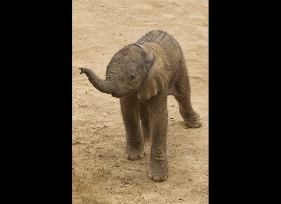 A newborn Africa elephant lifted his trunk in search of his mother at the San Diego Zoo Safari Park. The male calf was born a