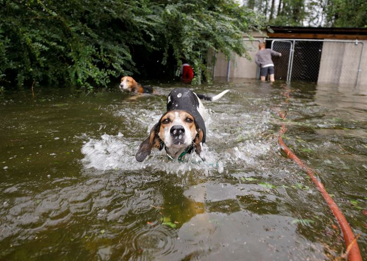 Panicked dogs that were left caged by an owner who fled rising floodwaters in the aftermath of Hurricane Florence swim free a