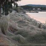 Αράχνες «κατάπιαν» με τον ιστό τους 300μ. βλάστησης κατά μήκος των ακτών του