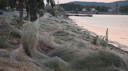 Αράχνες «κατάπιαν» με τον ιστό τους 300μ. βλάστησης κατά μήκος των ακτών του Αιτωλικού
