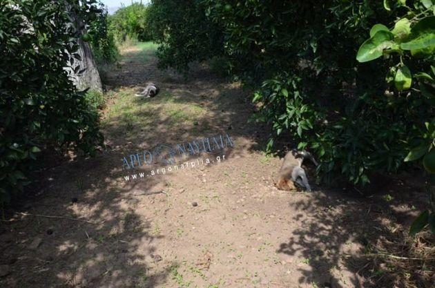 Nαύπλιο: Νεκρά επτά σκυλιά από