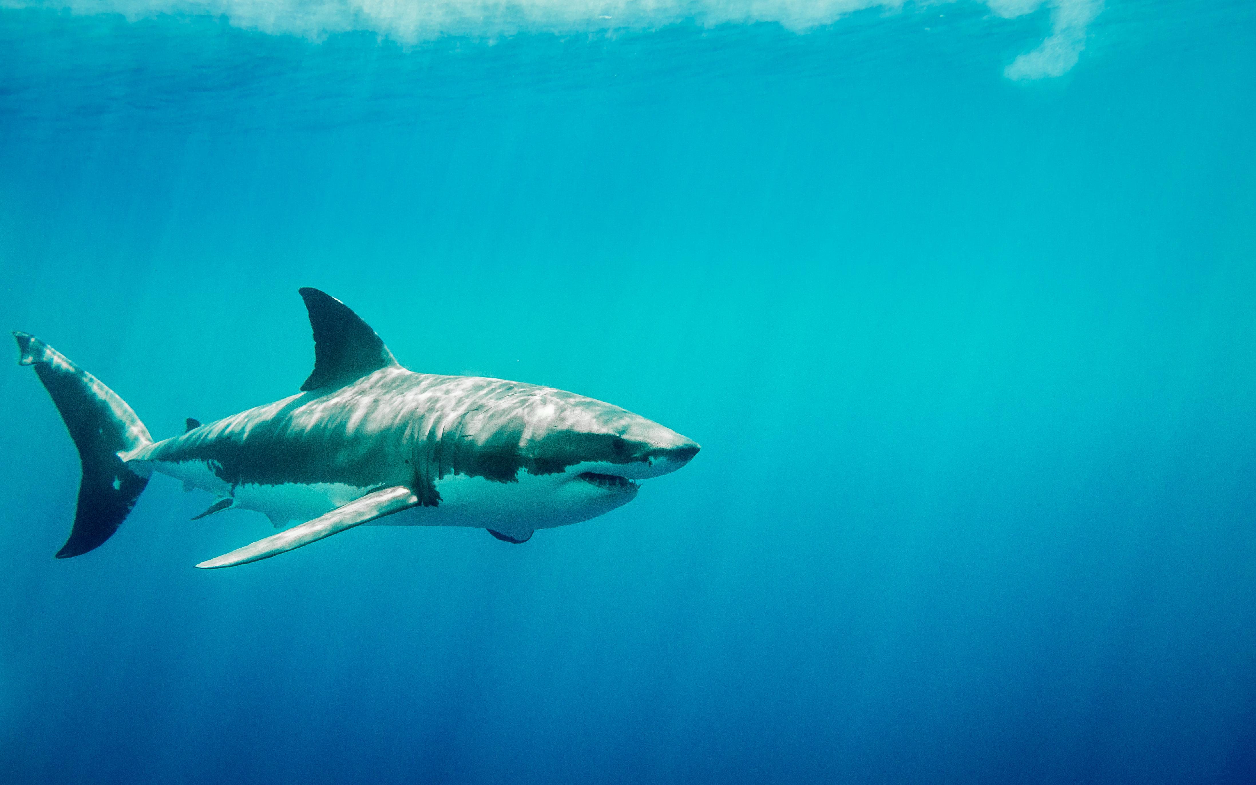Η μυστική ζωή του λευκού καρχαρία: Γιατί κάθε Δεκέμβρη μεταναστεύουν σε ένα άγνωστο μέρος στη μέση του