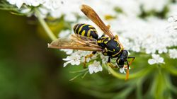 Scientists Say We Need To Protect Wasps As Much As We Do