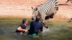 Zookeepers Save Newborn Zebra From