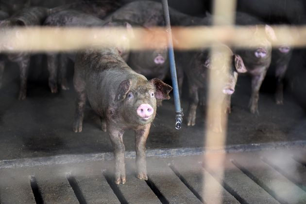 Pigs stand over the slatted floor of a barn in Ayden, North Carolina, on Sept.