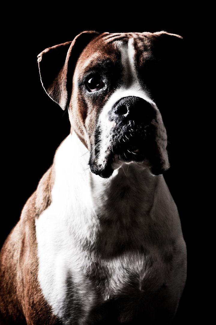 boxer dog portrait on a black...