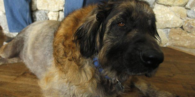 Sid, a Leonberger belonging to Jamie and Marian Harris relaxes at home, April 26, 2014l, in Aledo, Texas. He was reunited wit
