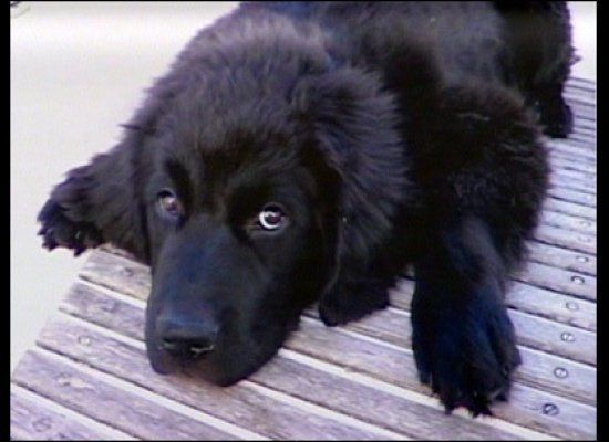 When a neighbor spotted Rosie, a Newfoundland, running into traffic in November 2010, she called the police to come help the