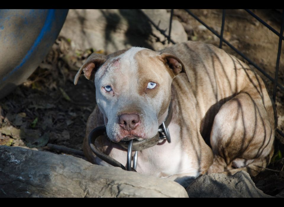 """One of the dogs on the property where 50 dogs were rescued from a <a href=""""http://blog.humanesociety.org/wayne/2014/10/anothe"""