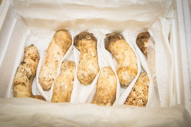 청와대가 공개한 송이버섯