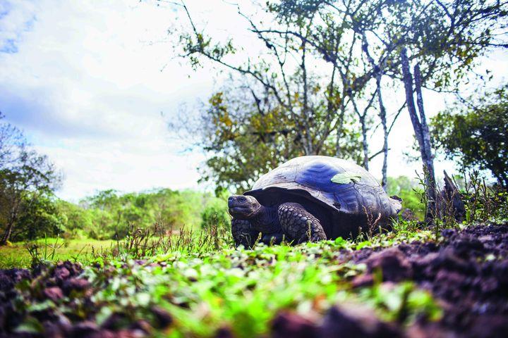 남아메리카 갈라파고스제도 산타크루즈섬의 커피 농장엔 바다거북이 자유롭게 드나든다.