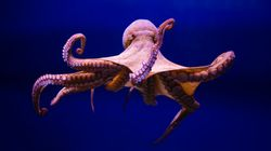 Ecstasy Makes Octopuses More Friendly, Study