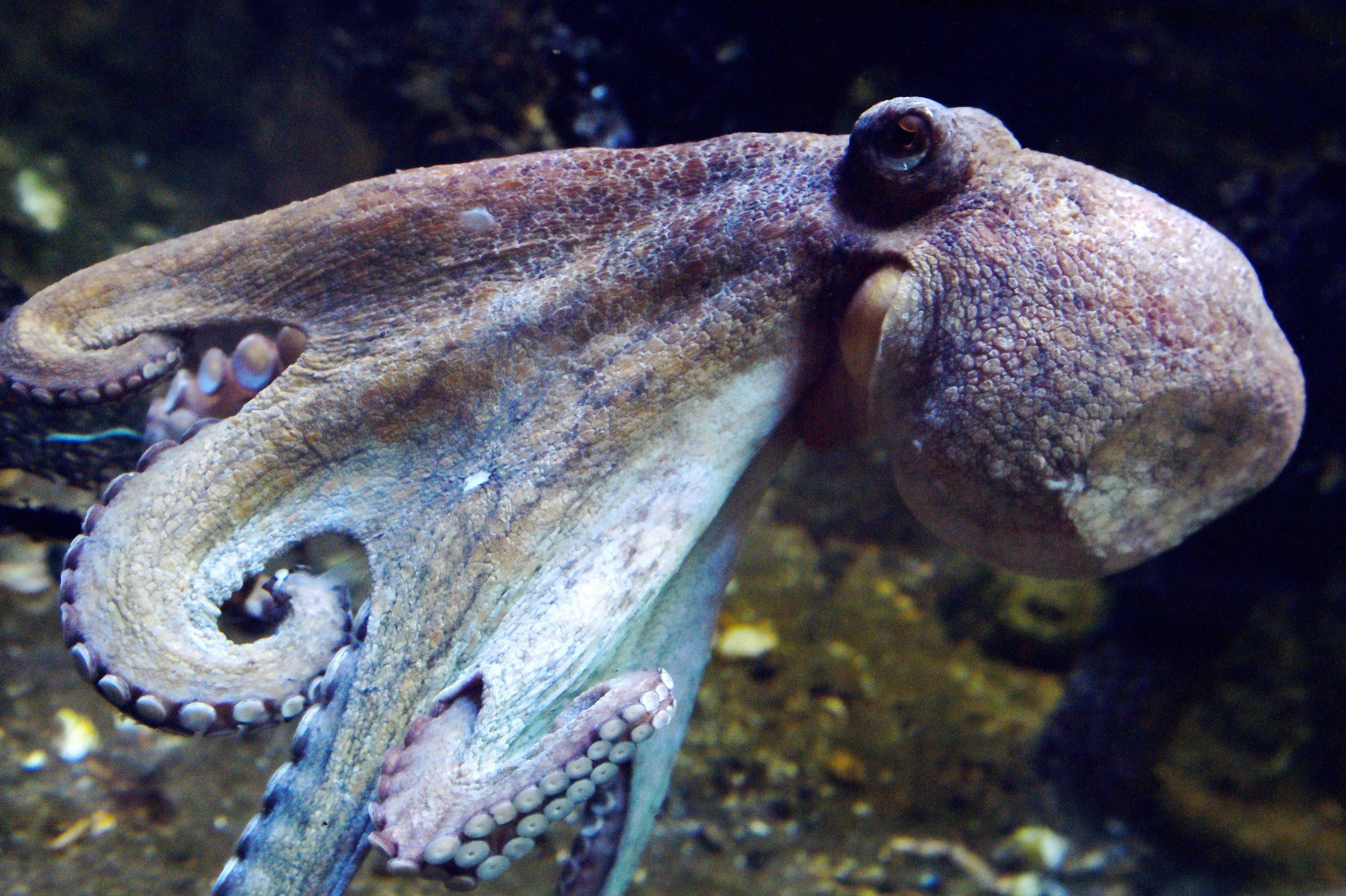 An octopus swims at the Ocearium in Le Croisic, western France, on December 6, 2016. (Photo by LOIC VENANCE / AFP)        (Photo credit should read LOIC VENANCE/AFP/Getty Images)