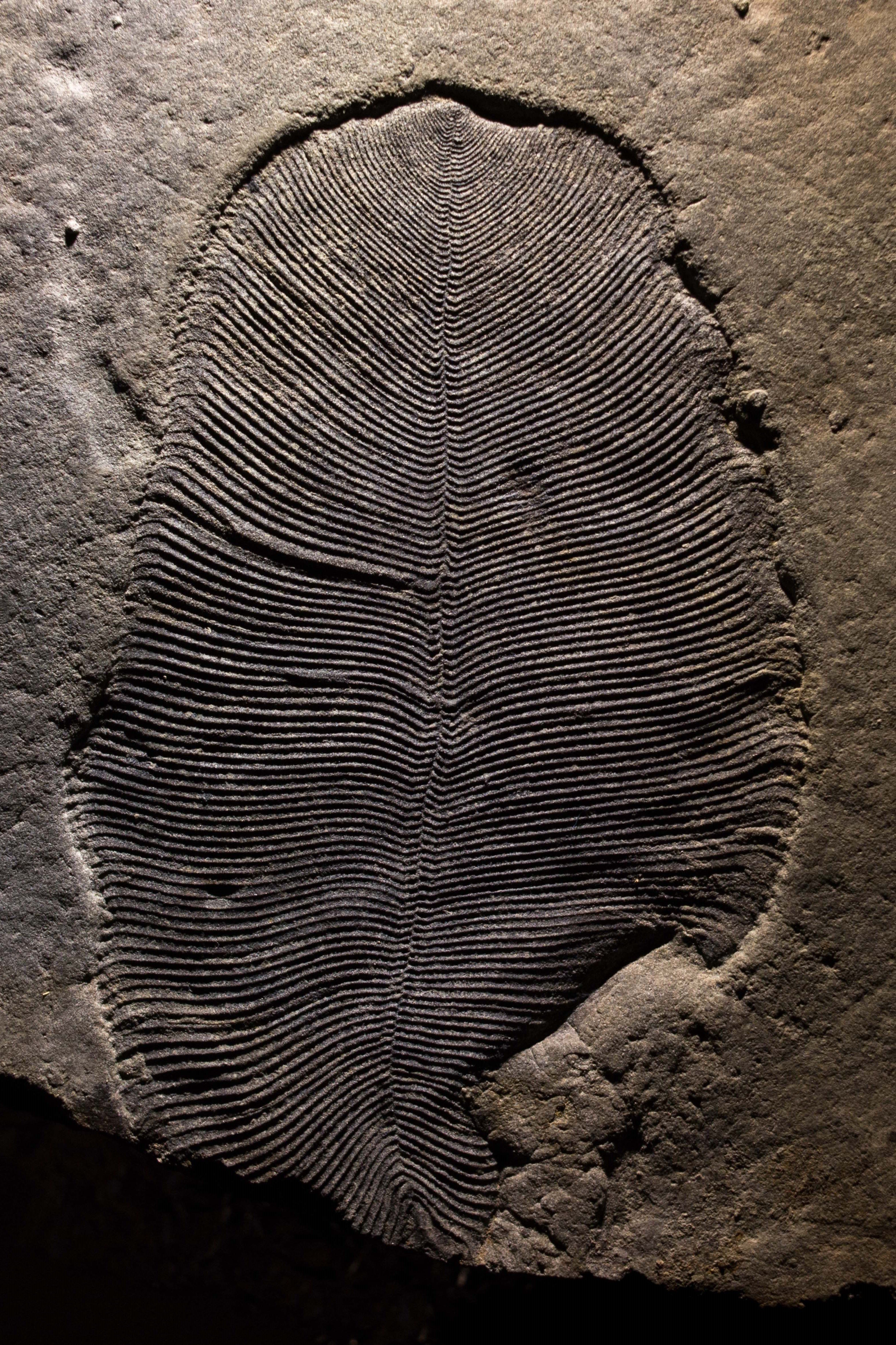A well-preserved Dickinsonia fossil from the White Sea area of Russia.