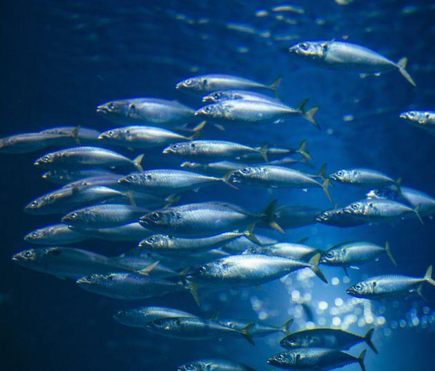 Γιατί πεθαίνουν μαζικά τα ψάρια στον Σχινιά; Η έρευνα του ΕΛΚΕΘΕ