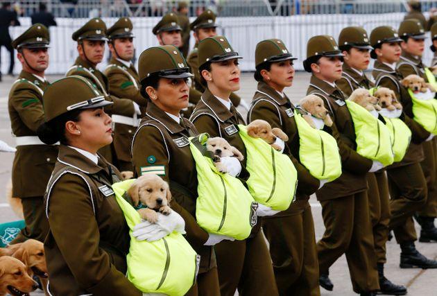 칠레 독립 기념일 퍼레이드에 등장한 엄청나게 깜찍한 녀석들의 정체 (사진,