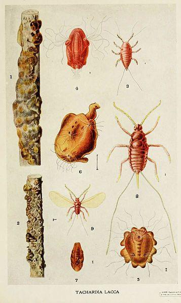 Qu'est-ce que le shellac, additif issu d'insectes retrouvé dans des aliments par l'ONG