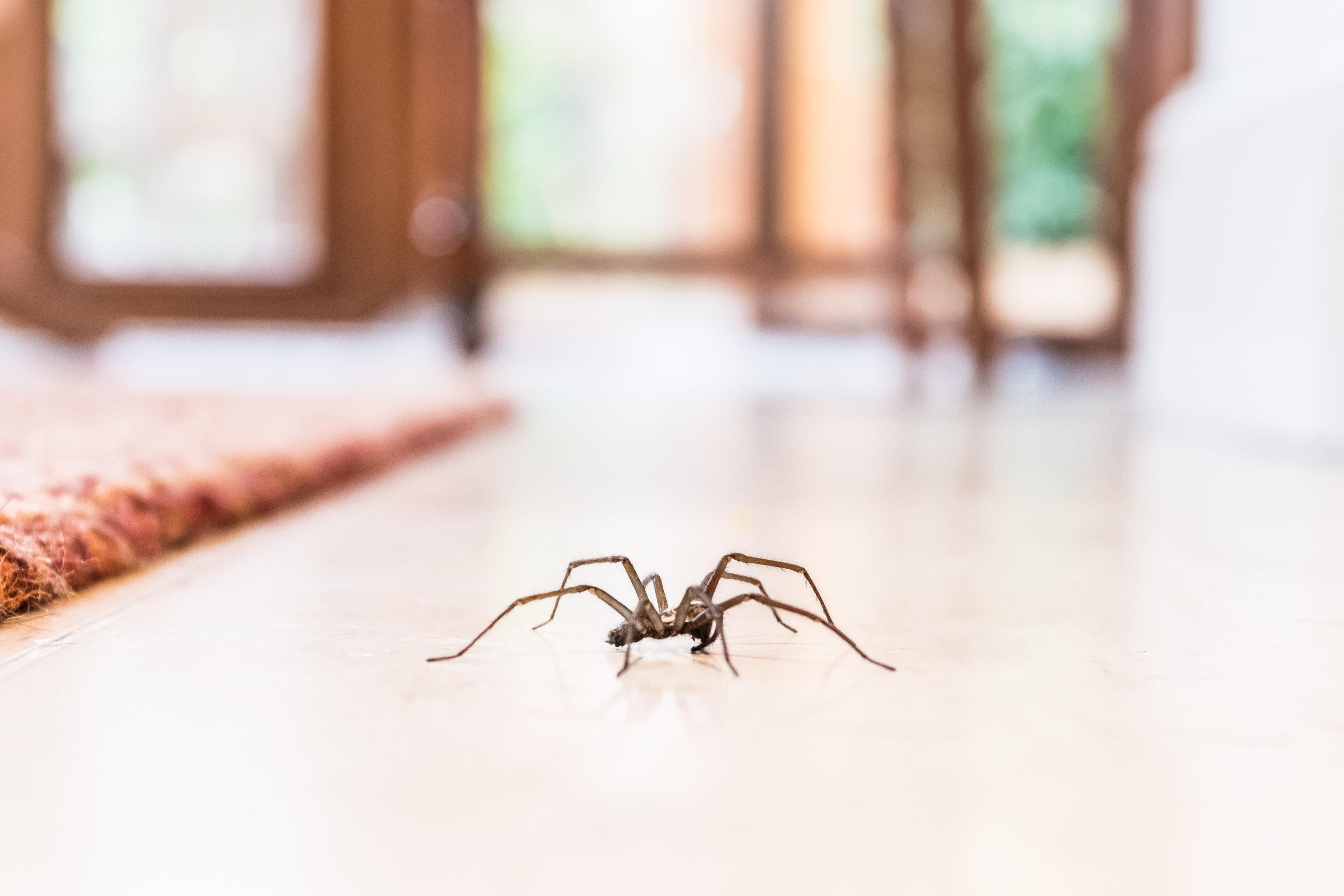 Mit welchen Hausmitteln ihr Spinnen aus eurer Wohnung vertreiben