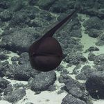 Forscher filmen seltsame Meereskreatur – dann flippen sie völlig