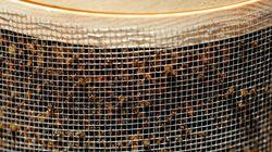Βρέθηκαν 60.000 μέλισσες σε οροφή