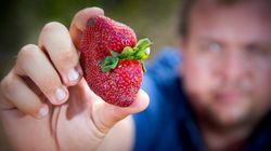 Οι φράουλες με τις βελόνες έφτασαν μέχρι τη Νέα