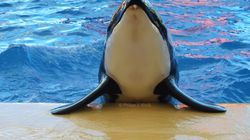 Morgan ist Mutter! Orca-Geburt im Loro