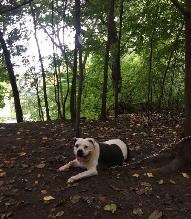 Mann findet verzweifelten Kampf-Hund angekettet im Park – dann entdeckt er